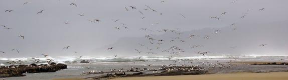 Stormi dei gabbiani che volano lungo la spiaggia di sabbia costiera Immagini Stock