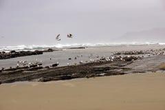 Stormi dei gabbiani che volano lungo la spiaggia di sabbia costiera Fotografia Stock