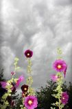stormiga hollyhocks royaltyfria foton
