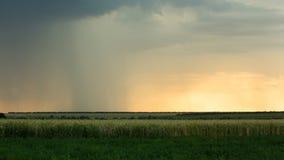 Stormiga moln är grå färg-blått över fältet med regn för åskmoln för sommar för solnedgång för tid för kornveteafton mörkt Royaltyfri Foto