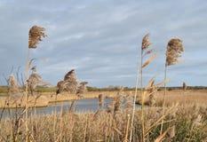 Stormlopen die in de wind in moerasland blazen Royalty-vrije Stock Foto