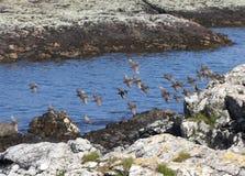 Stormo degli storni che sorvolano piccolo lago scozzese Immagine Stock
