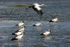 Stormo degli uccelli aperti della fattura Immagini Stock