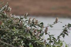 Stormo degli uccelli che si siedono su un ramo di albero Fotografia Stock