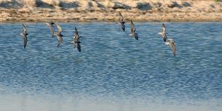 Stormo degli uccelli che sorvolano estuario Immagine Stock