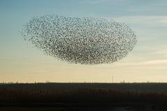 Stormo degli uccelli che sorvolano il campo Fotografia Stock Libera da Diritti