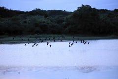 Stormo degli uccelli che sorvolano lago durante l'alba Fotografia Stock