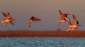 Stormo degli uccelli che volano al tramonto fotografie stock