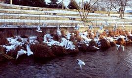 Stormo degli uccelli che volano dal lago nell'inverno fotografia stock libera da diritti