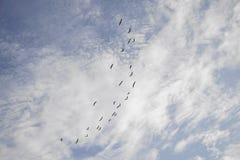 Stormo degli uccelli che volano nella formazione in cielo di pomeriggio Fotografia Stock Libera da Diritti