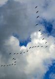 Stormo degli uccelli che volano nella formazione di v Immagine Stock