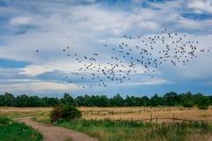 Stormo degli uccelli che volano via sopra un campo alla luce solare Fotografie Stock Libere da Diritti