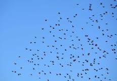 Stormo degli uccelli in cielo blu Fotografia Stock Libera da Diritti