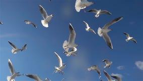 Stormo degli uccelli dei gabbiani che volano nel cielo blu stock footage