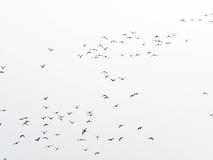 Stormo degli uccelli isolati Fotografia Stock