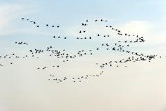 Stormo degli uccelli isolati su fondo bianco Immagine Stock Libera da Diritti