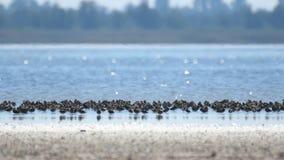 Stormo degli uccelli n del piovanello il lago video d archivio