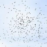 Stormo degli uccelli neri, corvi che circondano su nel backg del cielo blu Fotografia Stock