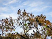Stormo degli uccelli neri in un albero Fotografia Stock Libera da Diritti