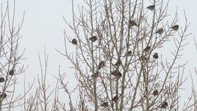 Stormo degli uccelli su un albero video d archivio