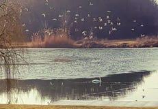 Stormo dei gabbiani che sorvolano lago Immagine Stock