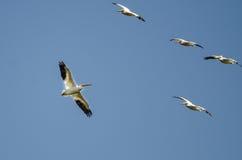 Stormo dei pellicani bianchi americani che volano in un cielo blu Fotografie Stock Libere da Diritti