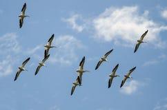 Stormo dei pellicani bianchi americani che volano in un cielo blu Immagine Stock Libera da Diritti