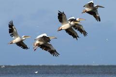 Stormo dei pellicani che sorvolano il mare Fotografia Stock
