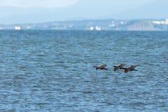 Stormo del cormorano pelagico che sorvola oceano Pacifico fotografie stock
