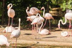 Stormo del fenicottero, Nizza grande uccello rosa, animale nell'habitat della natura Fotografia Stock