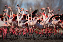 Stormo del fenicottero, ruber di Phoenicopterus, Nizza grande uccello rosa, ballante nell'acqua, animale nell'habitat della natur Immagine Stock