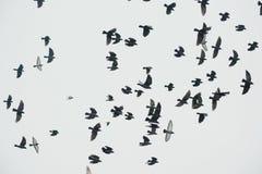 Stormo della siluetta degli uccelli Immagine Stock Libera da Diritti