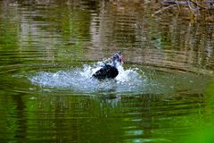 Stormo delle anatre domestiche che nuotano negli stagni Immagini Stock