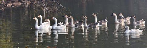 stormo delle anatre indiane nel lago Fotografie Stock Libere da Diritti