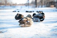Stormo delle anatre selvagge del germano reale che riposano sulla neve delicata fotografia stock libera da diritti