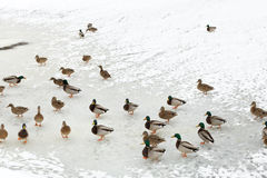Stormo delle anatre su ghiaccio in fiume congelato Immagine Stock