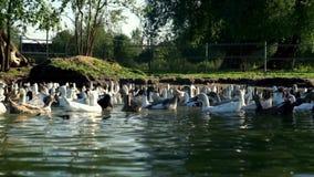 Stormo delle oche che galleggiano nello stagno nell'azienda agricola dell'uccello Uccello acquatico nell'allevamento video d archivio