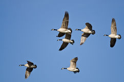 Stormo delle oche del Canada che volano in un cielo blu Fotografie Stock