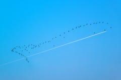Stormo delle oche selvatiche che volano nella formazione Fotografie Stock
