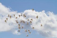 Stormo di grandi uccelli australiani dell'egretta Fotografie Stock