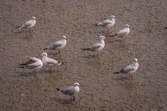 Stormo di migrazione di uccelli del gabbiano che sta sul fango della foresta della mangrovia al centro ricreativo di Bangpu, prov Immagine Stock Libera da Diritti
