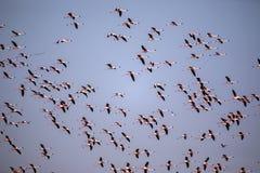Stormo di pilotare Lesser Flamingo, minore di Phoeniconaias, baia di Walvis, Namibia fotografie stock