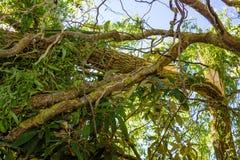 Stormskada av ett träd fotografering för bildbyråer