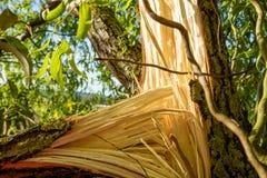 Stormskada av ett träd arkivbilder