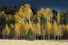 Stormy Aspens. A dark storm brews behind a stand of quaking aspens Stock Photography