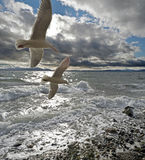 Stormy beach. With two seagulls royalty free stock photography