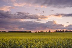 Stormy Canola Sunset Stock Photos