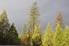 Stormy Gray Skies. Stormy gray sky with sun shining on the pine trees. Rain is coming royalty free stock photo