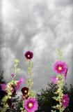 Stormy hollyhocks. Storm clouds behind hollyhock flowers royalty free stock photos