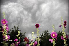 Stormy hollyhocks Stock Image